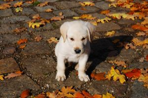 cutelabradorpuppy 5 Tips That Could Save Your Dog's Life