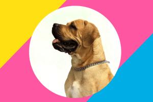 mastiff Top 10 Common Dog Health Complaints