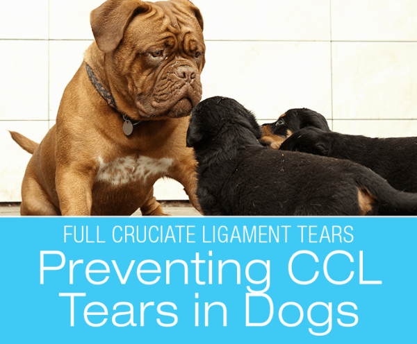 Talk To Me About Dog ACL/CCL Injuries: Prevention