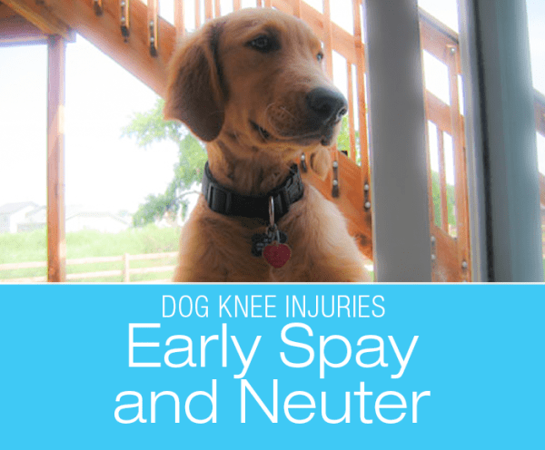 Talk To Me About Dog ACL/CCL Injuries: Early Spay and Neuter