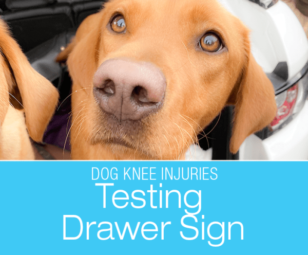 Talk To Me About Dog ACL/CCL Injuries: Drawer Sign