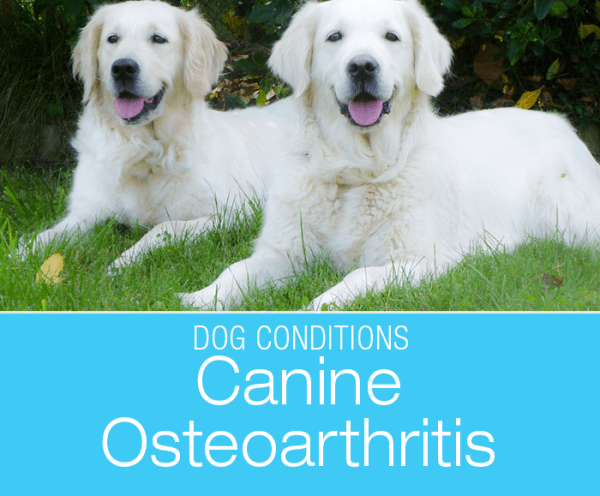 Talk to Me About Dog Arthritis: Why Are My Dog's Joints Painful? Osteoarthritis, resulting from degenerative joint disease (DJD) is one of the most common conditions in dogs.