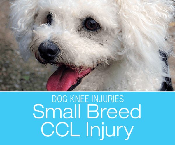 Small Dog CCL Injuries: Small Breeds Can Hurt Their ACL Too—Star's Naughty Knee