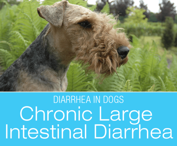 Chronic Large Intestinal Diarrhea in Dogs: Stories from My Diary-rrhea (part IV):