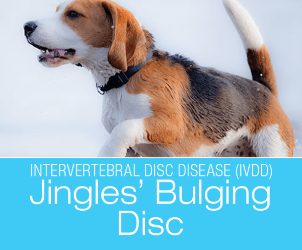 IVDD Diagnosis in a Dog: Bulging Disc and The Importance Of A Second Opinion—Jingle's Story