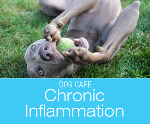 Understanding Chronic Inflammation In Dogs