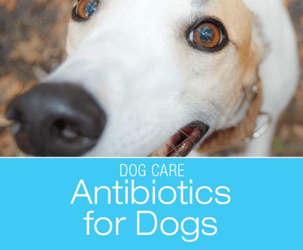 Antibiotics for Dogs: Did You Ever Wonder How Antibiotics Work?