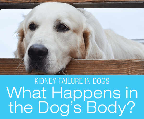 Kidney Failure in Dogs: What Happens In The Dog's Body When The Kidneys Fail To Function Properly? Acute and chronic kidney failure.