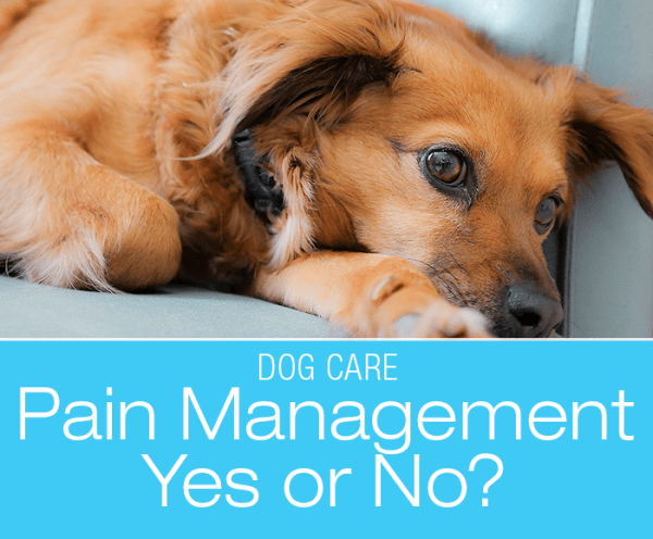Dog Injuries Pain Management: Should You Say Yes To Pain Management?