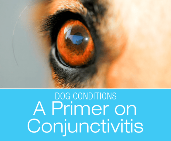A Primer On Conjunctivitis: Conjunctivitis refers to inflammation of this conjunctiva tissue. It is also known as pink eye.