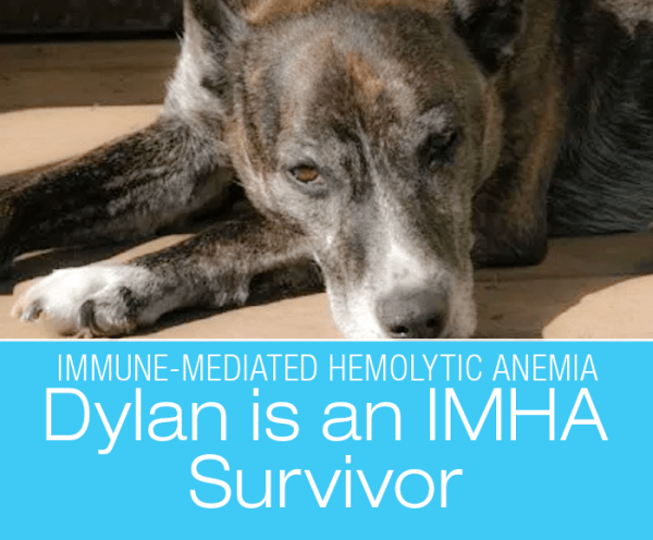 An IMHA Survivor: Dylan's Story
