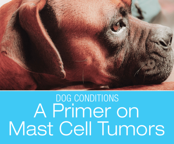 A Primer On Mast Cell Tumors: Boxers are one of the susceptible breeds.