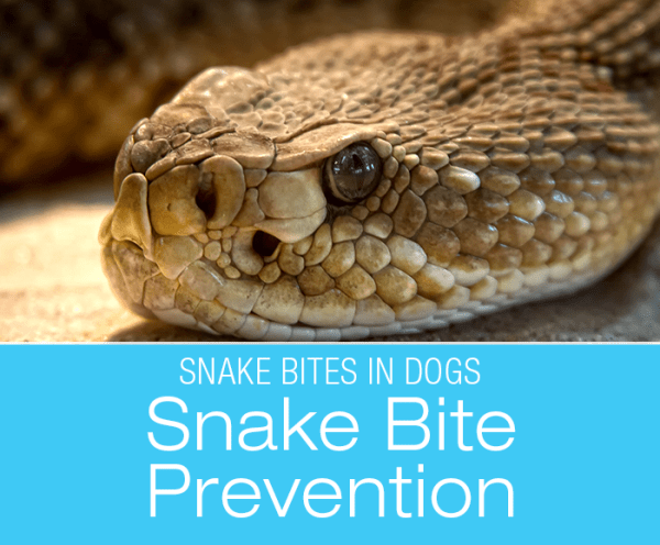 Snake Bites in Dogs: Protect Your Dog From Snake Bites