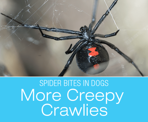 Spider Bites in Dogs: More Creepy Crawlies