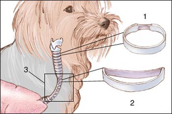https://i2.wp.com/mydogsymptoms.com/wp-content/uploads/2012/06/3a96e-col-trachea.jpg?w=500&ssl=1