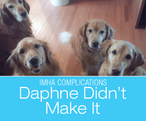 Canine IMHA Complications: Daphne Didn't Make It