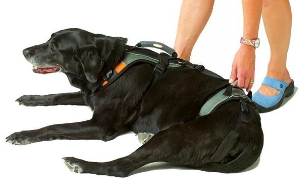 Canine Degenerative Myelopathy (DM):  HelpEmUp Harness