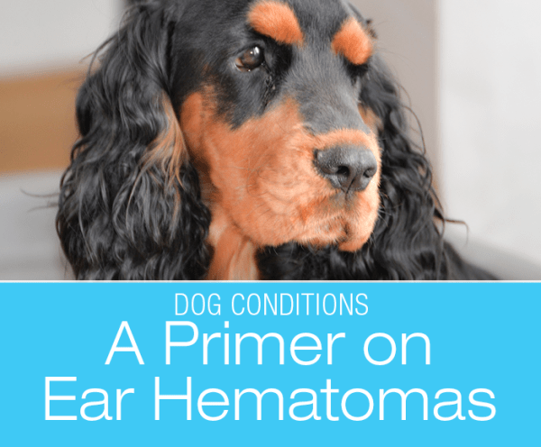 A Primer On Ear Hematomas: Although ear hematomas can occur in any dog or even in cats, they are most common in dogs with floppy ears.