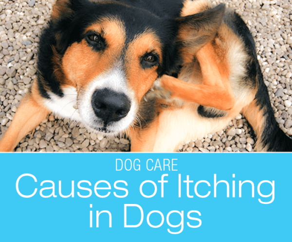 Why Does My Dog Itch: Itching For A Diagnosis