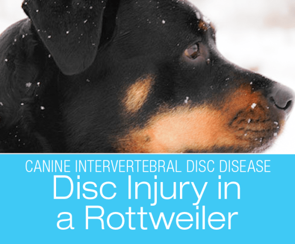 Disc Injury in a Rottweiler: A Time Bomb Ought To Go Off At Some Point, I Guess: Jasmine's Neck