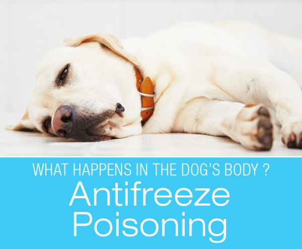 Antifreeze Poisoning in Dogs: What Happens in the Dog's Body with Antifreeze Poisoning?