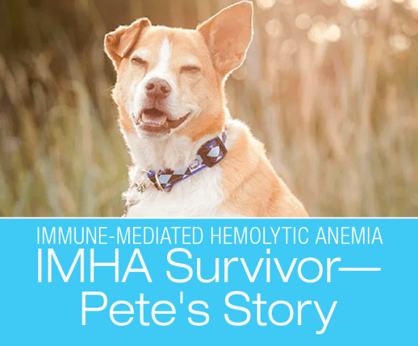 Can a Dog Survive IMHA: Immune-Mediated Hemolytic Anemia (IMHA) Survivor—Pete's Story