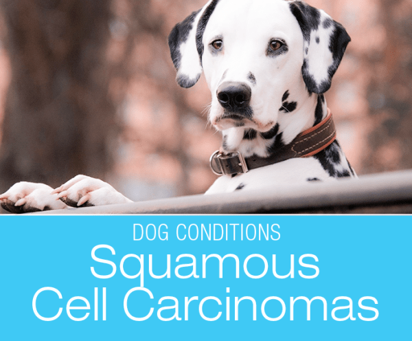 A Primer On Squamous Cell Carcinomas: Dalmatians are one of the susceptible breeds.