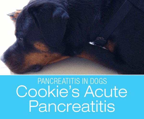 Acute Pancreatitis in a Dog: The Project That Is Cookie—Pancreatitis Up Close And Personal