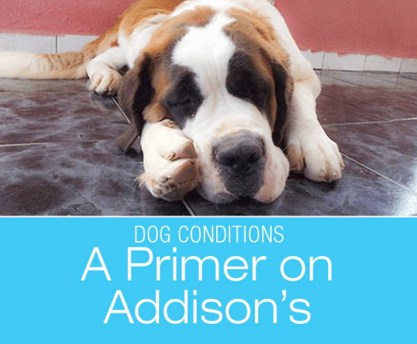 A Primer On Addison's Disease: What is Addison's Disease in Dogs?