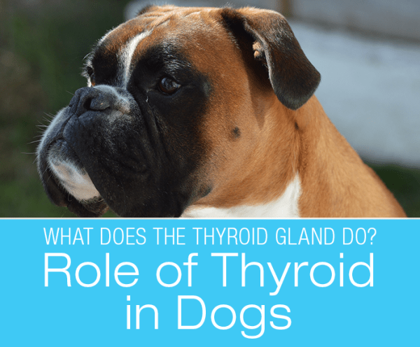 The Role of Thyroid in Dogs: What Does The Thyroid Gland Do?