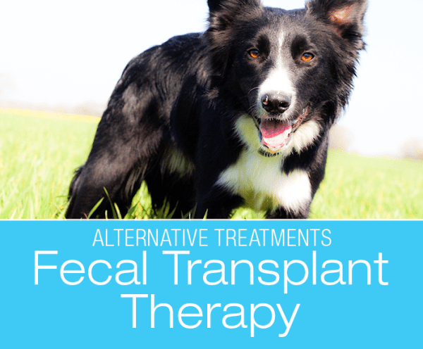 Fecal Transplants for Dogs: Micro-biome Restorative Therapy (MBRT)