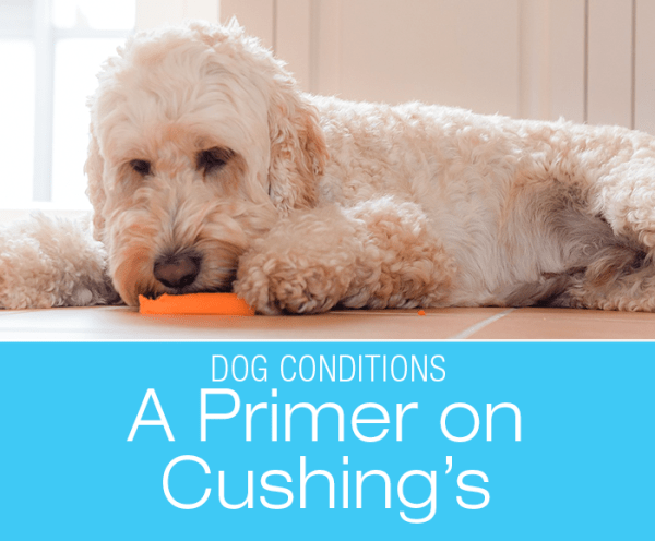 A Primer On Cushing's Disease: Poodles are one of the susceptible breeds.