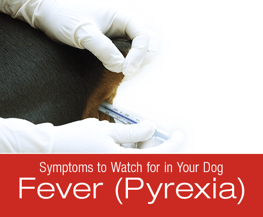 Symptoms To Watch For In Your Dog: Fever (Pyrexia)