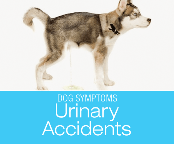 Changes in Urination/Urinary Accidents: Why Is My Dog Peeing in the House?