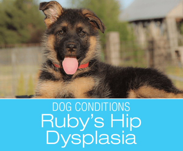 Ruby's Journey with Hip Dysplasia