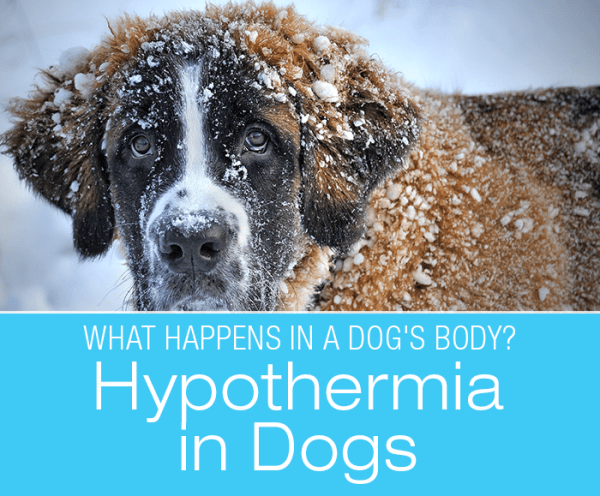 Hypothermia in Dogs: What Happens in a Dog's Body with Hypothermia?