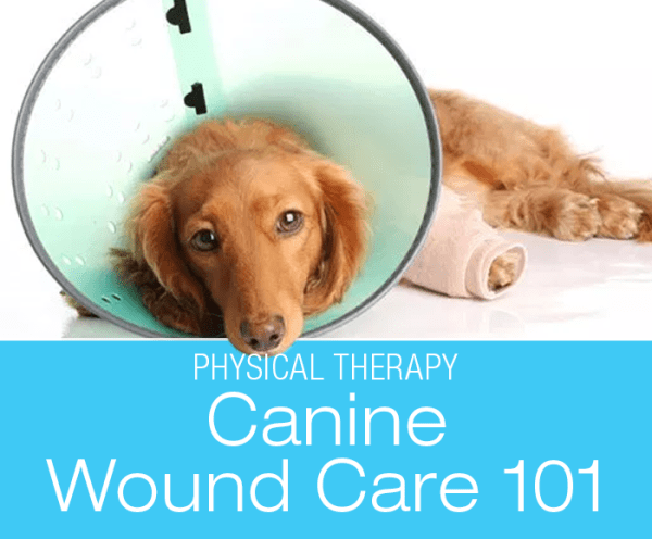 Canine Wound Care 101: Classification, treatment, and physical therapy