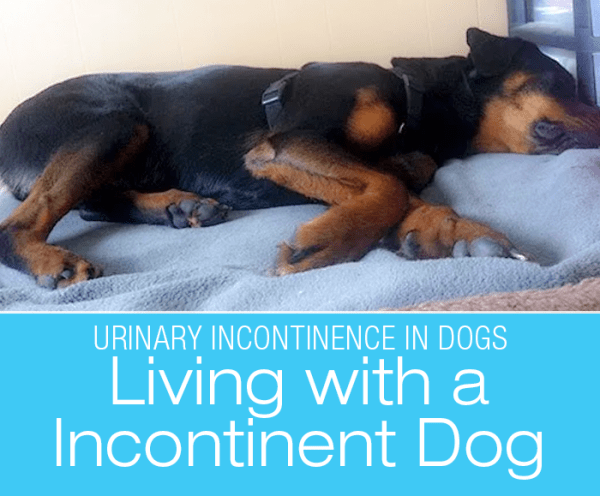 Urinary Incontinence in Dogs: Living with an Incontinent Dog