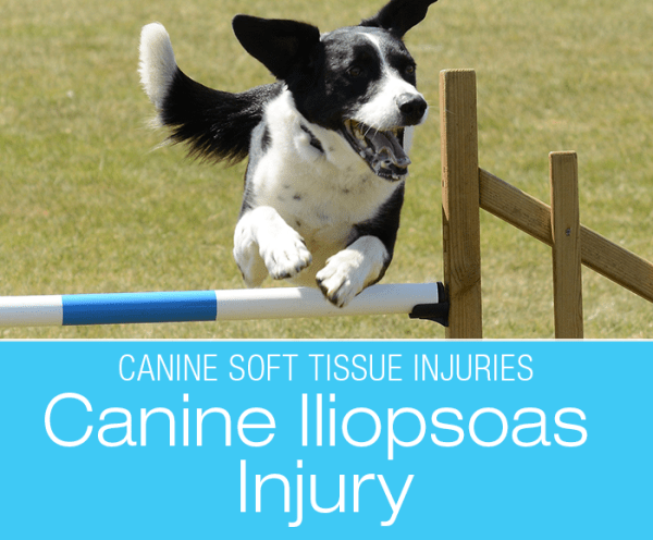 Canine Iliopsoas Injury: A Common Undiagnosed Injury in Dogs