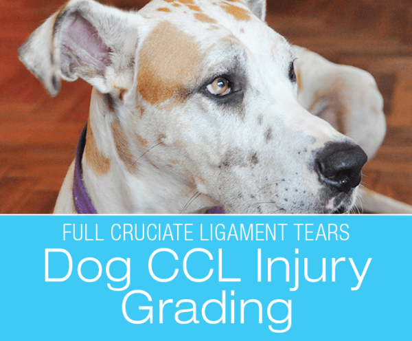 """Dog CCL Injury Grading: Cruciate Tears """"All or None, or Partial?"""""""