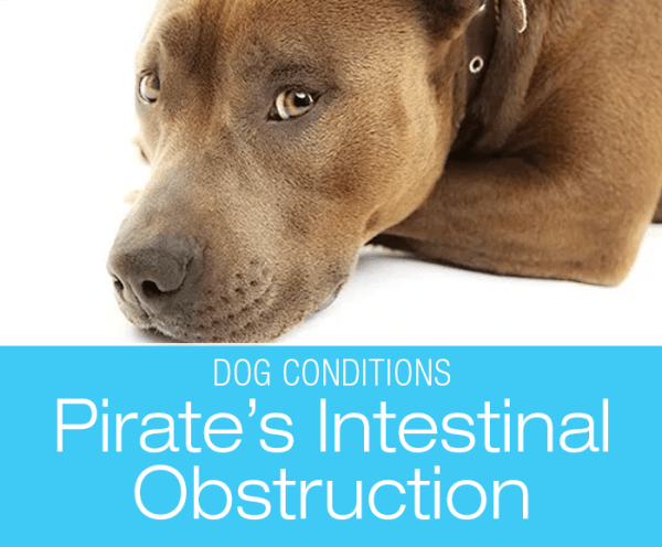 Chronic Vomiting in a Dog: Is It An Emergency When Your Dog Keeps Vomiting? Pirate's Story