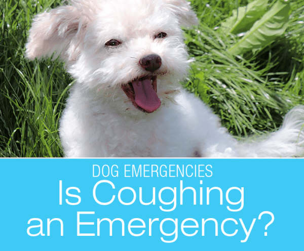 Is Dog Coughing an Emergency?