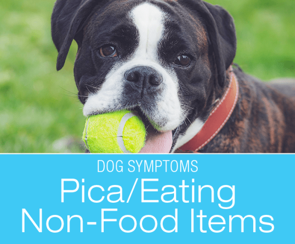 Pica in Dogs: Why Is My Dog Eating Non-Food Things?