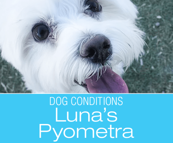 Pyometra in a Senior Dog: Don't Give Up on Your Dog Just Because of Age—Luna's Pyometra
