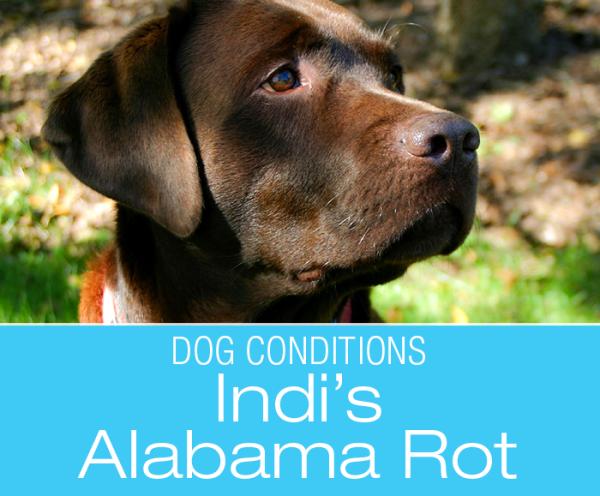 Alabama Rot in Dogs: Cutaneous and Renal Glomerular Vasculopathy (CRGV) aka Alabama Rot