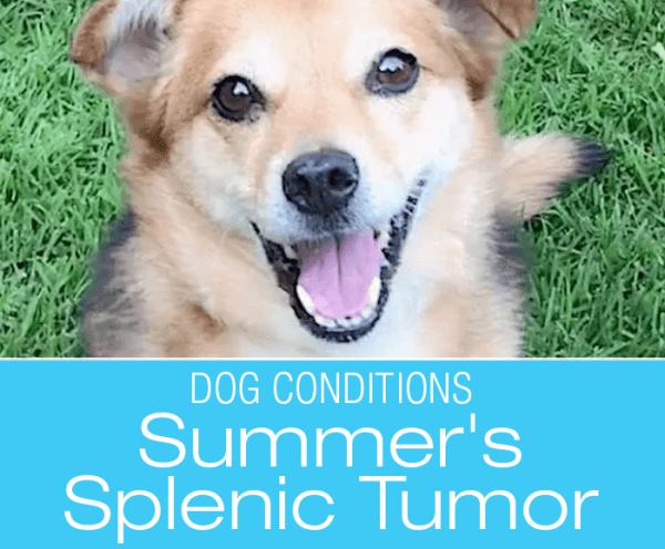 Symptom Misinterpretation in a Dog: The Forest and the Trees—Summer's Hemangiosarcoma