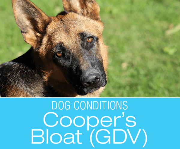 Canine Bloat: Cooper's Gastric Dilatation and Volvulus Survival Story and a Warning