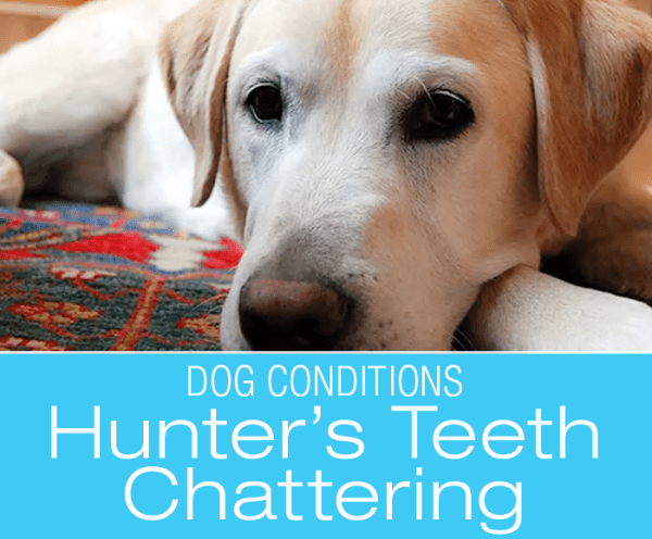 Causes of Teeth Chattering in Dogs: Hunter's Teeth Chattering: What Caused It?