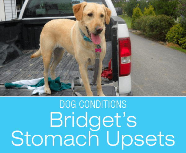 Persistent Vomiting and Pica in Dogs: Bridget's Stomach Upsets. What Would You Do If It Was Your Dog?