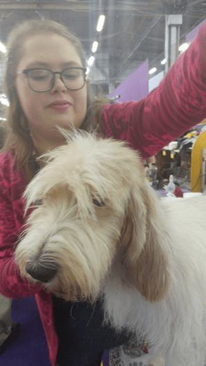 143rd Westminster Dog Show: Grand Basset Griffon Vendeen